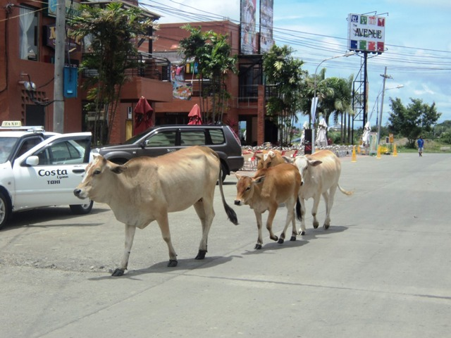 cows-smallville-iloilo